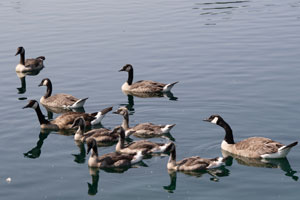 Canada Geese Creche.  Wikimedia Commons photo.