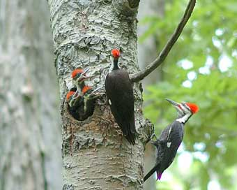 Pileated Woodpecker Family.  Photo by Wendell Long.