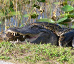burmese python vs. alligator.  Lori Oberhofer, National Park Service.