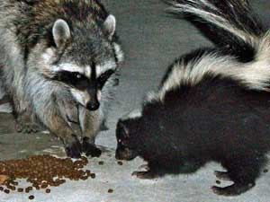 raccoon and skunk are potential rabies vectors.  Wikimedia Commons photo