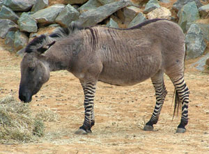 Zedonk or Zeedonk or Zonkey. Wikimedia Commons photos