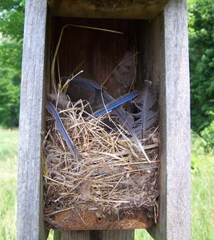 House Sparrow nest. Photo by Bet Zimmerman.