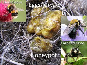 Bumblebee, carpenter bee and honeypot with egg mass