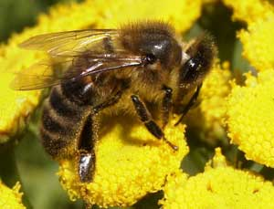 Honeybee.  Wikimedia Commons photo