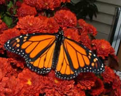 Monarch Butterfly. Photo by K Chapuis.