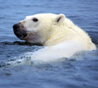 Polar bear survival.  Photo from Wikimedia Commons