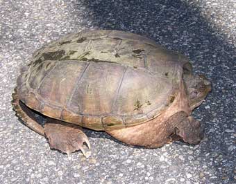Snapping Turtle trying to cross the road. Photo by Bet Zimmerman