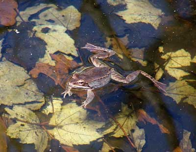 Wood Frog in Poconos, PA.  Photo by Bet Zimmerman.